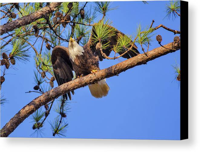 Bald Eagle Canvas Print featuring the photograph American Bald Eagle 3 by Tina Cannon