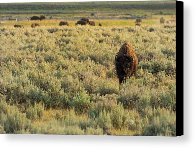 American Bison Canvas Print featuring the photograph American Bison by Sebastian Musial