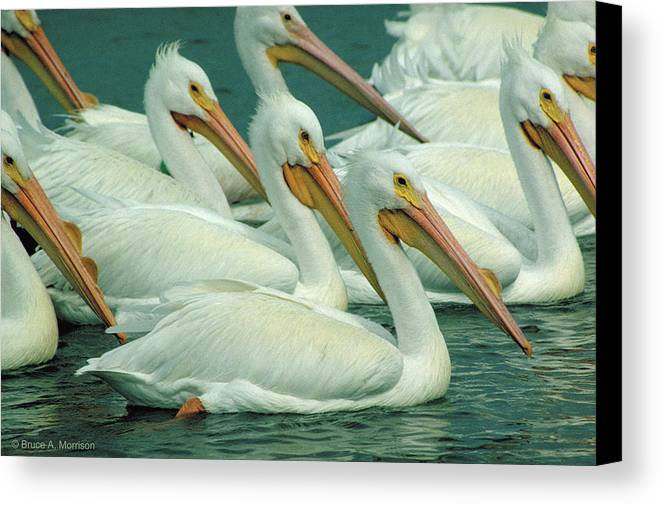 White Pelicans Canvas Print featuring the photograph American White Pelicans by Bruce Morrison