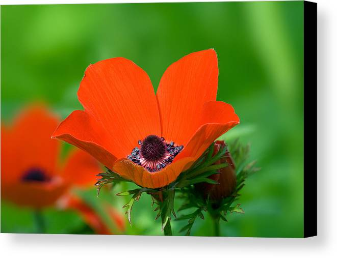 Anemone Coronaria Canvas Print featuring the photograph Anemone Coronaria by Yuri Peress