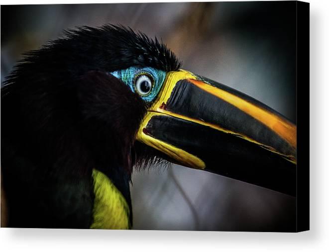Aracari Canvas Print featuring the photograph Aracari by Anthony Evans