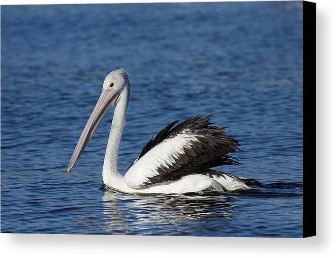 Pelican Canvas Print featuring the photograph Australian Pelican B by Tony Brown