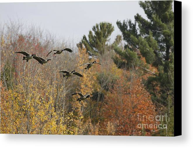 Geese Canvas Print featuring the photograph Autumn Geese by Deborah Benoit