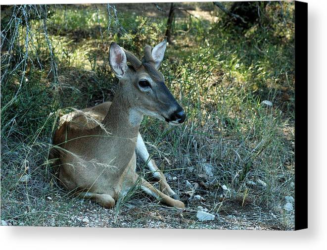 Deer Canvas Print featuring the photograph Baby Buck by Teresa Blanton