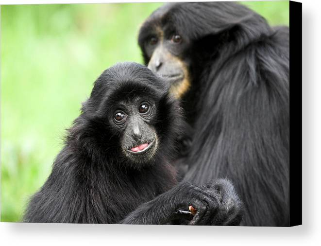 Baby Canvas Print featuring the photograph Baby Monkey And Mother by Pierre Leclerc Photography