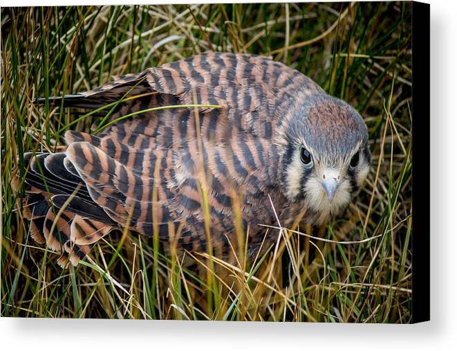 Canvas Print featuring the photograph Baby Sage Grouse by Reed Tim