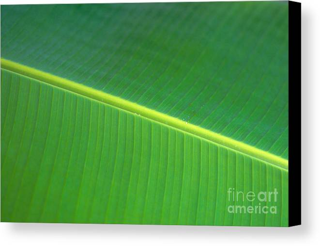Agriculture Canvas Print featuring the photograph Banana Leaf by Dana Edmunds - Printscapes