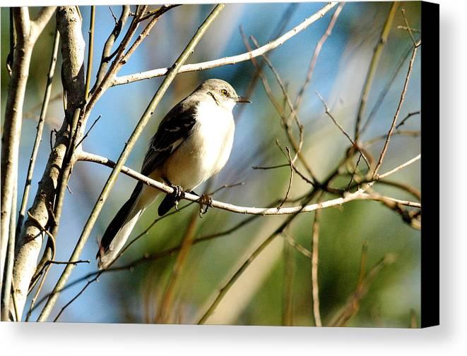 Bird Canvas Print featuring the photograph Beautiful Mockingbird by Teresa Blanton