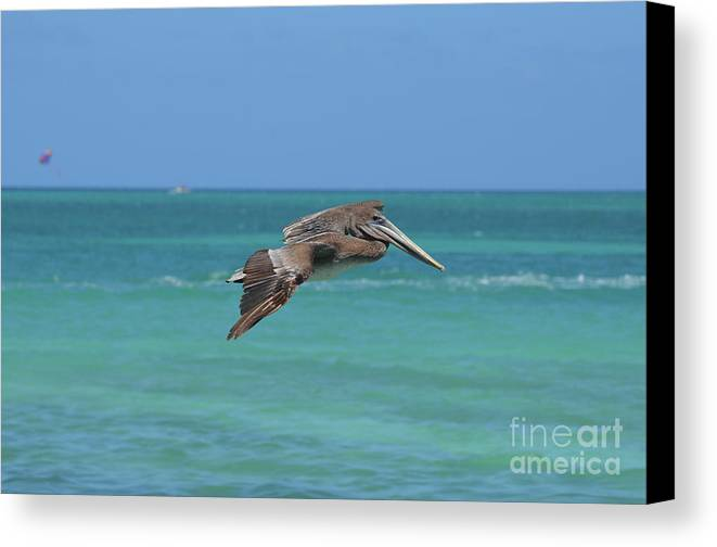 Pelican Canvas Print featuring the photograph Beautiful Pelican Flying Over Aqua Waters In Aruba by DejaVu Designs