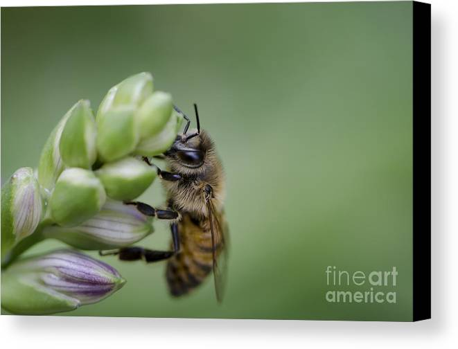Bee Canvas Print featuring the photograph Busy Bee by Andrea Silies