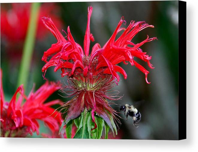 Bee Balm Canvas Print featuring the photograph Bee Balm by Alan Lenk