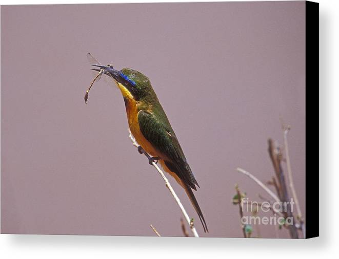 African Birds Canvas Print featuring the photograph Bee Eater And Dragonfly by Sandra Bronstein