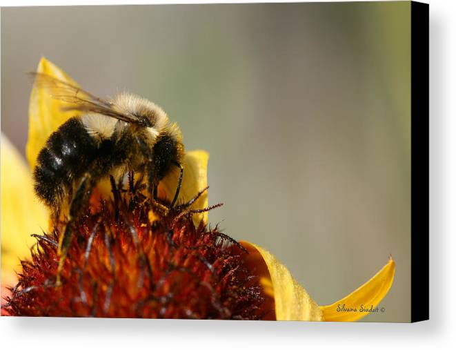 Bee Canvas Print featuring the photograph Bee Four by Silvana Siudut