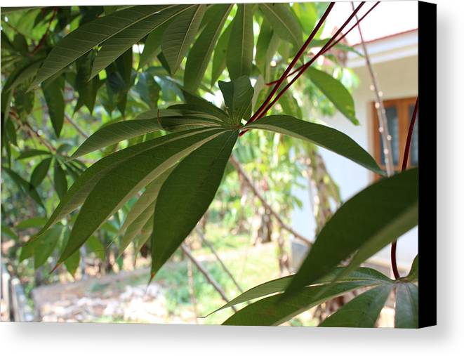 Tapiaco Leaf Canvas Print featuring the photograph Behind The Wall by Manoj John