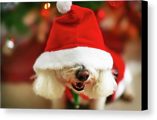 Horizontal Canvas Print featuring the photograph Bichon Frise Dog In Santa Hat At Christmas by Nicole Kucera