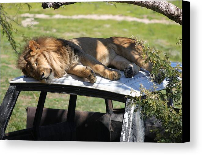 Lion Taking A Nap On Top Of A Land Rover. Canvas Print featuring the photograph Big Cat Nap by Cory Bykoski
