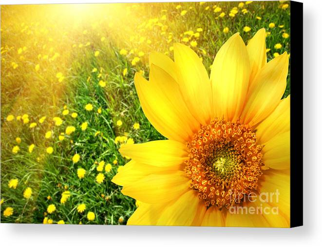 Background Canvas Print featuring the photograph Big Yellow Sunflower by Sandra Cunningham