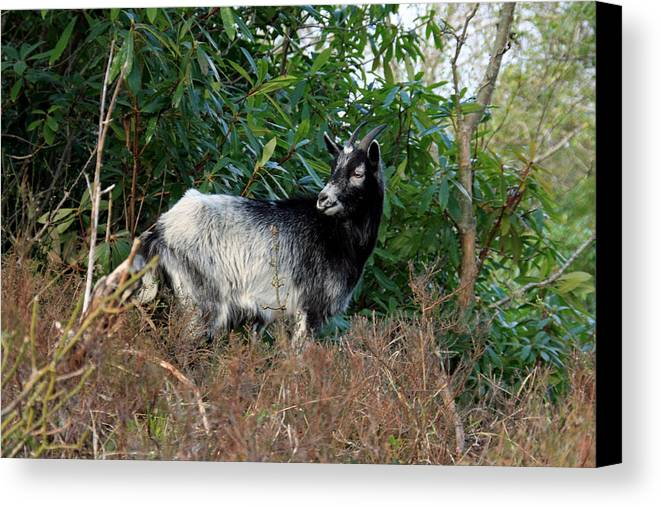 Goat Canvas Print featuring the photograph Kerry Mountain Goat by Aidan Moran