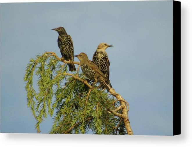 Three Canvas Print featuring the photograph Birds-on-watch by Gordon Auld