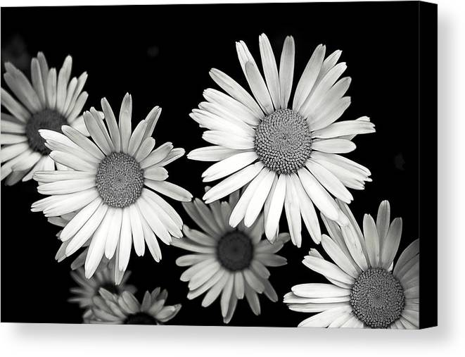 Flower Canvas Print featuring the photograph Black And White Daisy 2 by Alisha Jurgens