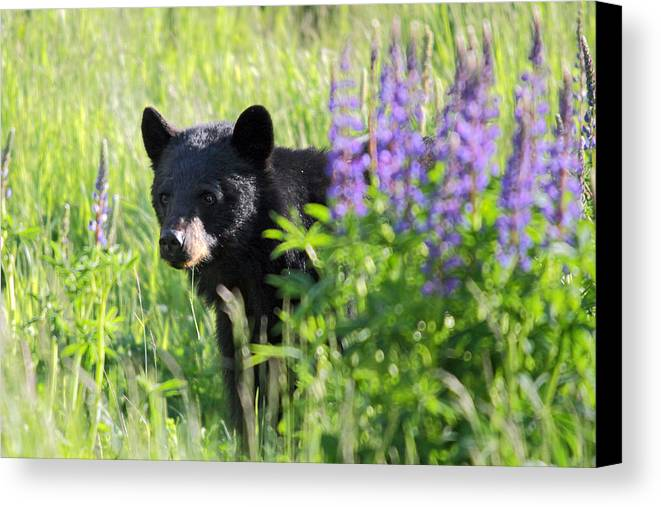 Black Canvas Print featuring the photograph Black Bear Hiding Behind Lupines by Pierre Leclerc Photography