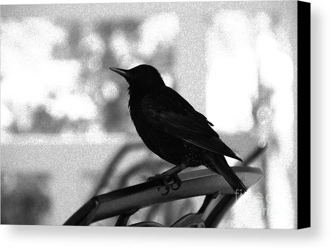 Black Bird Canvas Print featuring the photograph Black Bird Bw by Linda Shafer