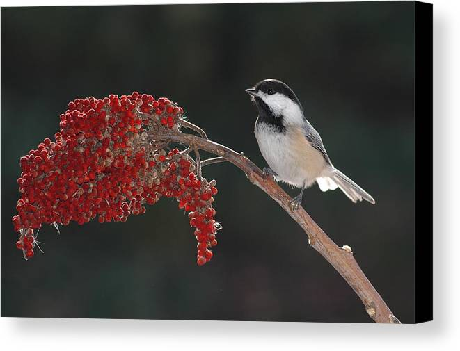 Birds Canvas Print featuring the photograph Black-capped Chickadee by Raju Alagawadi