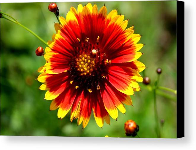 Flower Canvas Print featuring the photograph Blaze Of Glory by David Dunham