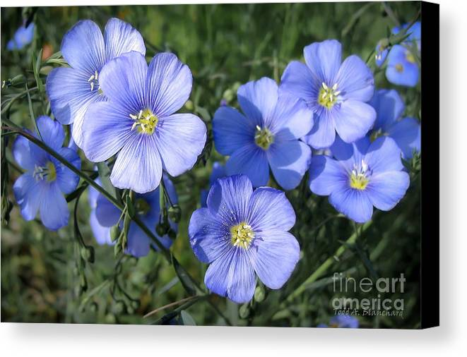 Flowers Canvas Print featuring the photograph Blue Flowers In The Sun by Todd Blanchard