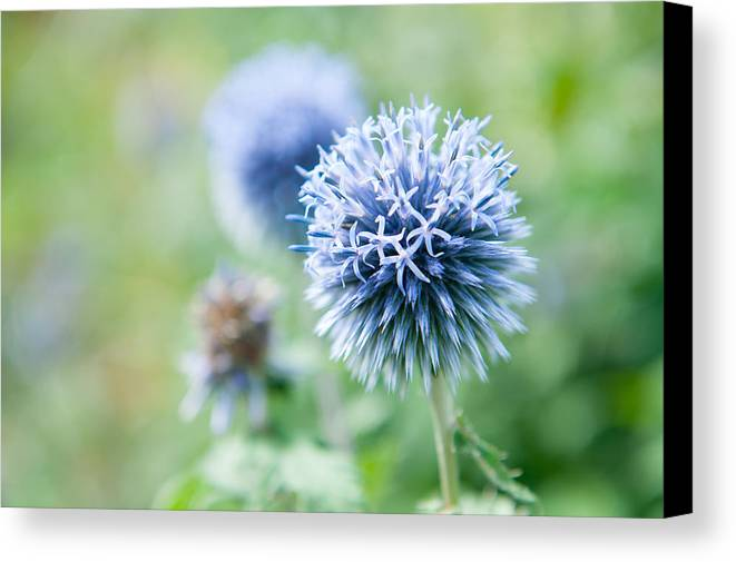 Globe Thistle Canvas Print featuring the photograph Blue Globe Thistle Flower by Helen Northcott