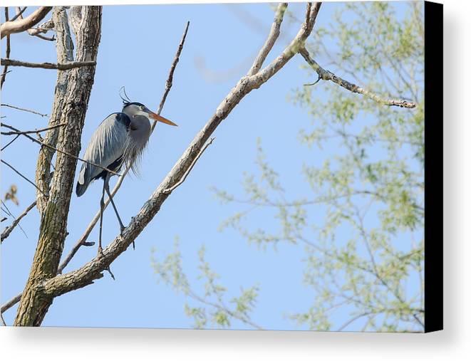 Blue Heron Canvas Print featuring the photograph Blue Heron In Tree by Joni Eskridge
