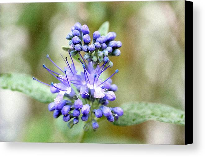 Flower Canvas Print featuring the photograph Blue by Mary Haber