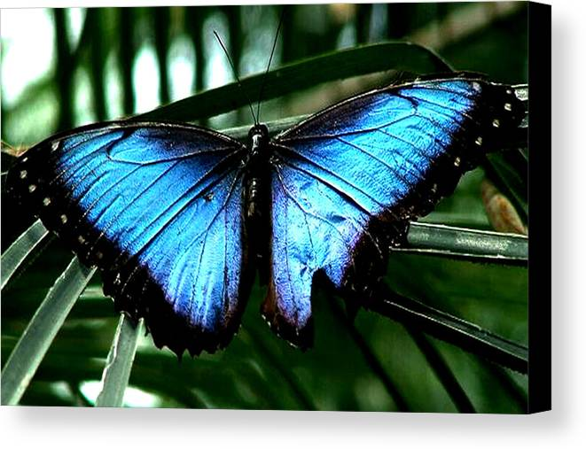 Blue Butterfly Morphm Animal Fly Flying Canvas Print featuring the photograph Blue Morph by Diane Wallace