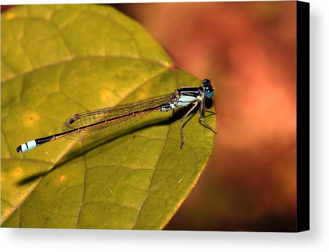 Canvas Print featuring the photograph Bluetail At Sunset by Lesley Smitheringale