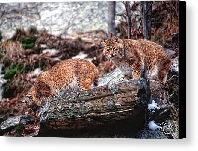 Bobcats Canvas Print featuring the photograph Bobcats On The Loose by Brad Hoyt