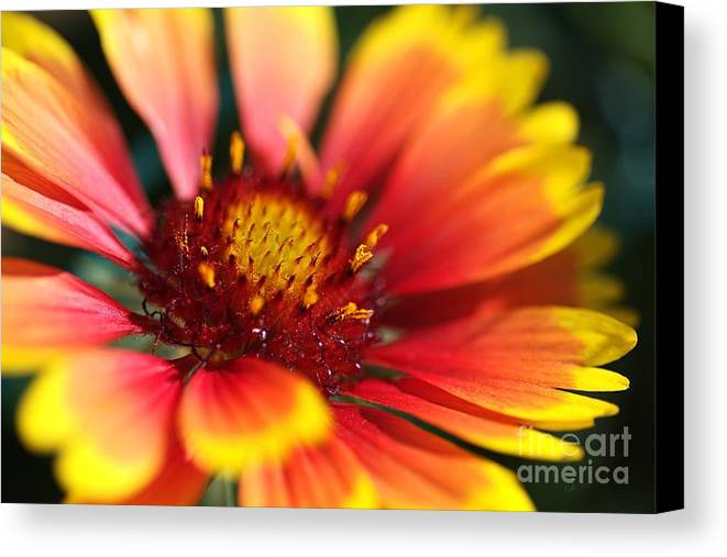 Flower Canvas Print featuring the photograph Bright Blanket Flower by Joy Watson