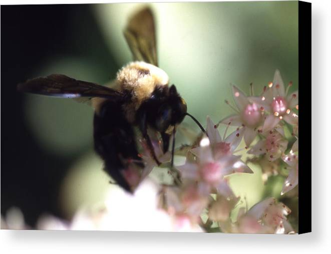 Canvas Print featuring the photograph Bumblbee Bzzz by Curtis J Neeley Jr