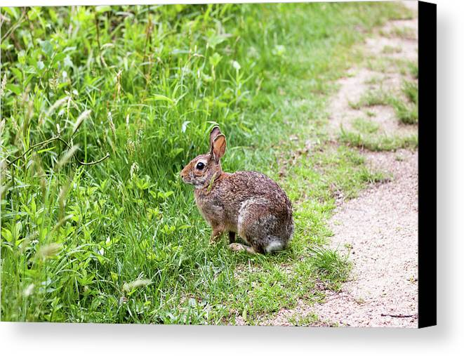 Bunny Canvas Print featuring the photograph Bunny Rabbit by Robert Popa