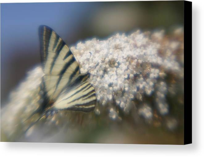Butterfly Canvas Print featuring the photograph Butterfly Dream by Jennifer McDuffie