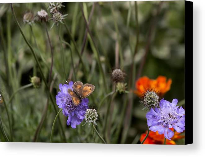 Butterfly Canvas Print featuring the photograph Butterfly On Flower. by Les OGorman