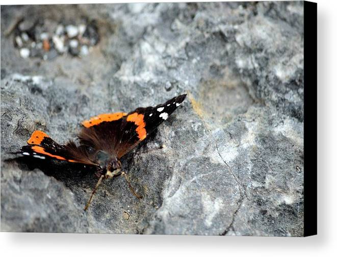 Butterfly Canvas Print featuring the photograph Butterfly Resting by Charles J Pfohl