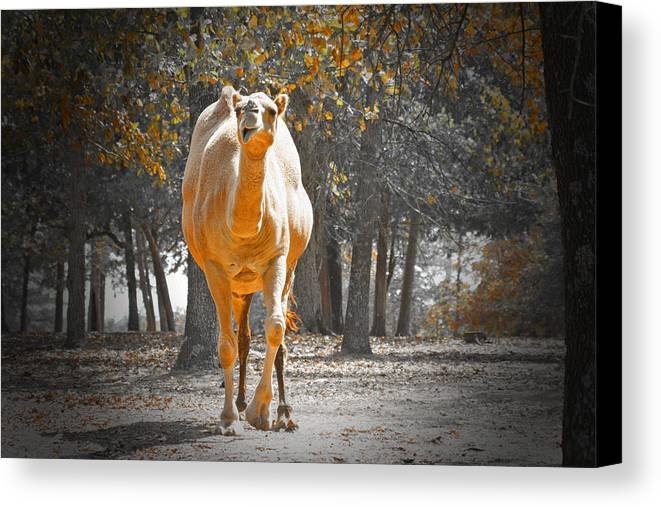 Camel Canvas Print featuring the photograph Camel by Douglas Barnard