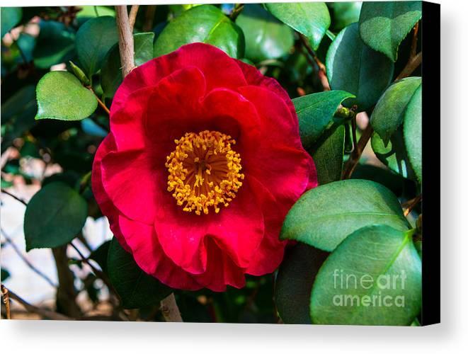 Camellia Canvas Print featuring the photograph Camellia by Robert Edgar