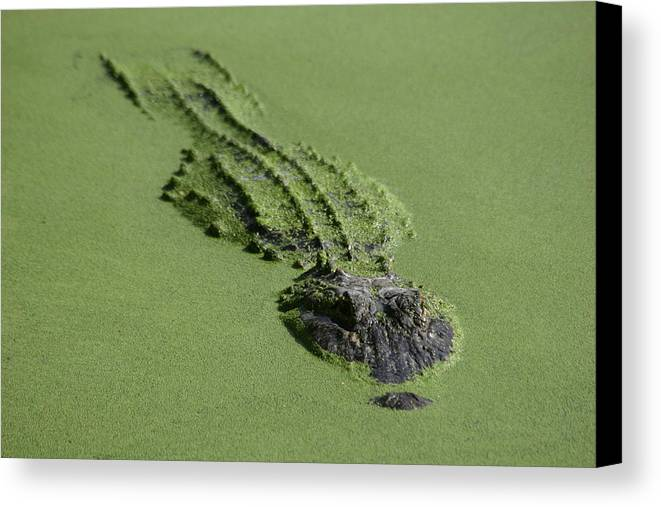 Aligator Canvas Print featuring the photograph Camouflage by Hans Jankowski