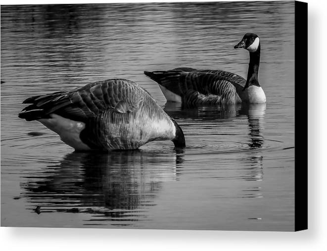Canvas Print featuring the photograph Canadian Geese 2 by Reed Tim