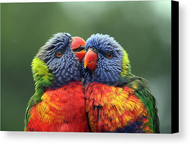 Rainbow Lorikeets Canvas Print featuring the photograph Canoodling In The Rain by Lesley Smitheringale