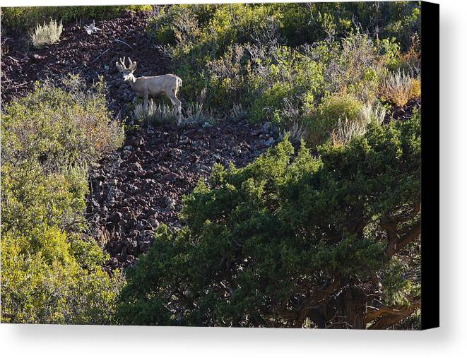 Black Mesa Canvas Print featuring the photograph Capulon Buck by Charles Warren