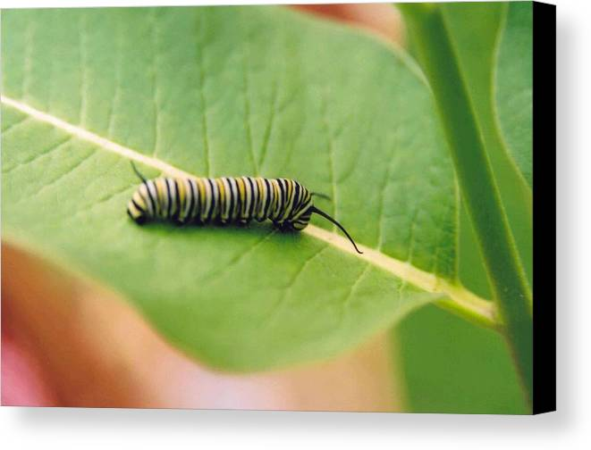 Caterpillar Canvas Print featuring the photograph Caterpillar by Kathy Schumann
