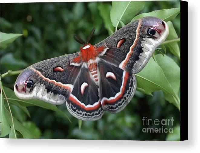 Cecropia Moth Canvas Print featuring the photograph Cecropia Moth by Matt Cormons