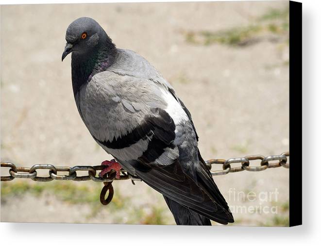 Pigeons Canvas Print featuring the photograph Chain Of Coos by William Tasker